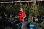 Zach Taylor trims marijuana buds at SPARC in Glen Ellen, Calif. on Oct. 18.