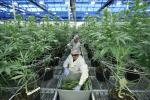 Employees collect cuttings from cannabis plants at Hexo Corp`s facilities in Gatineau, Quebec, Canada, on Sept. 26.